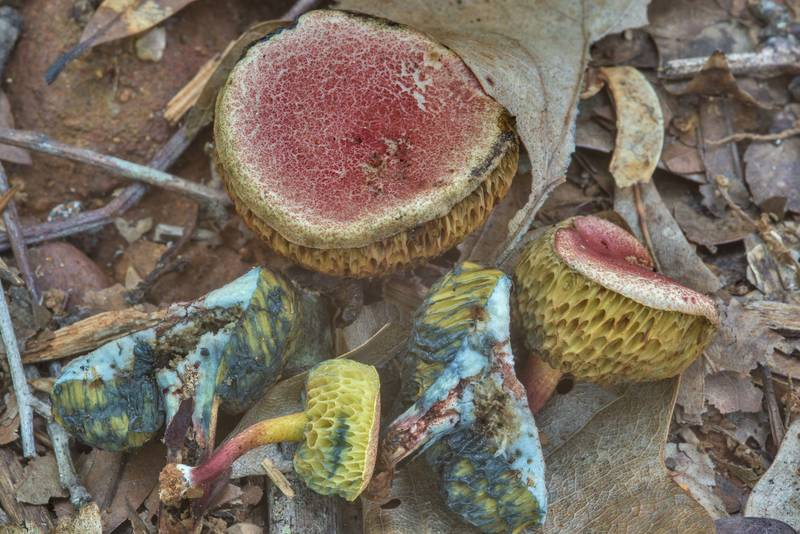 Dissected small Boletus subfraternus(?) mushrooms on a sandy path in Lick Creek Park. College Station, Texas, May 31, 2018
