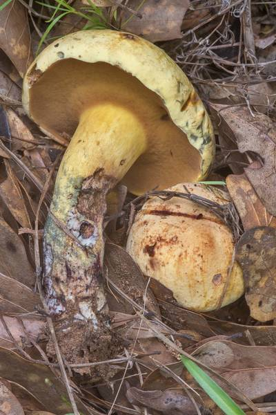 Bolete mushrooms Neoboletus pseudosulphureus in oak leaves in Lick Creek Park. College Station, Texas, May 31, 2018