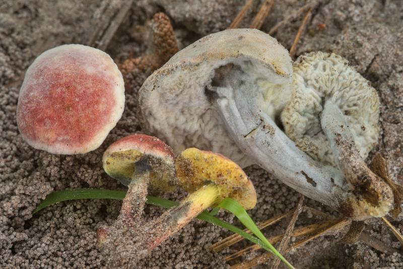"<B>Boletus subfraternus</B> mushrooms with Hypomyces fungus on a sandy path on Caney Creek Trail (Little Lake Creek Loop Trail) in Sam Houston National Forest, near Huntsville. Texas, <A HREF=""../date-en/2018-06-02.htm"">June 2, 2018</A>"
