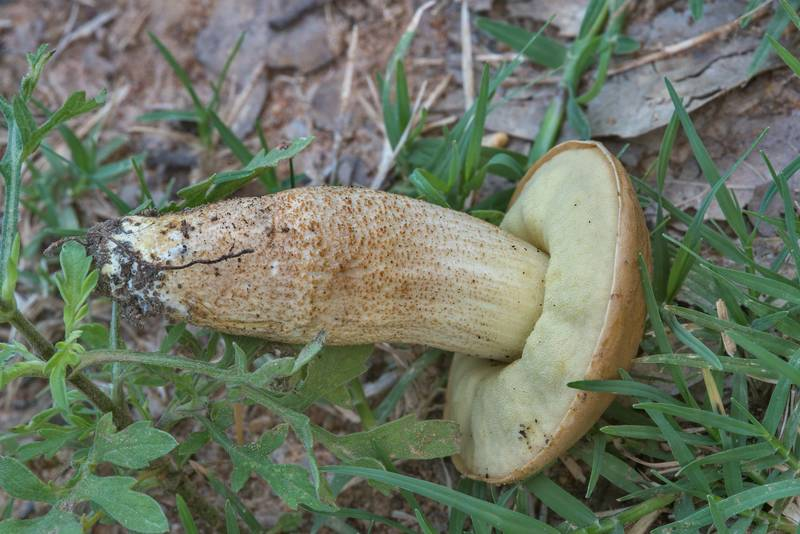 Underside of saffron bolete mushroom (Leccinellum crocipodium)(?) in Lick Creek Park. College Station, Texas, June 3, 2018