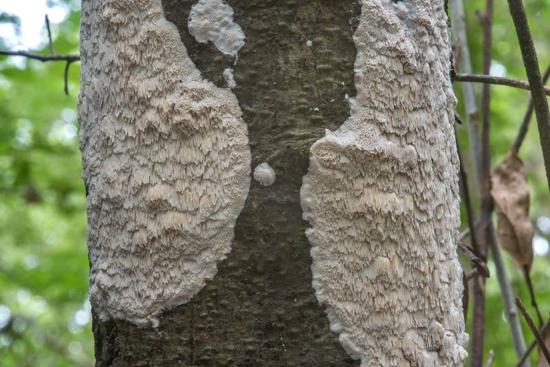 Resupinate polypore fungus Oxyporus latemarginatus (Emmia latemarginata) spreading on a dried thin oak in Lick Creek Park. College Station, Texas, June 3, 2018