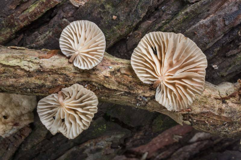 Gills of Marasmiellus subsect. Inodermini mushrooms on a vine of trumpet creeper in Lick Creek Park. College Station, Texas, June 4, 2018
