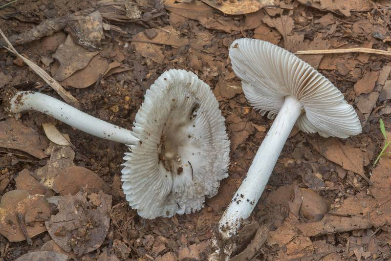 "Side view of pale grisette mushrooms Baton Rouge Ringless Amanita (<B>Amanita batonrougensis</B>) on a sandy path in Lick Creek Park. College Station, Texas, <A HREF=""../date-en/2018-06-06.htm"">June 6, 2018</A>"