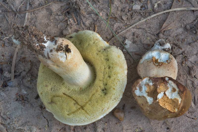 "Porcini bolete mushrooms (<B>Boletus edulis</B> group) in Lick Creek Park. College Station, Texas, <A HREF=""../date-en/2018-06-13.htm"">June 13, 2018</A>"