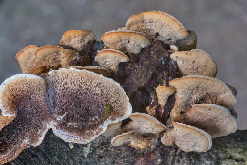 Mossy maze polypore mushrooms (Cerrena unicolor)(?) on a fallen branch in Lick Creek Park. College Station, Texas, June 13, 2018