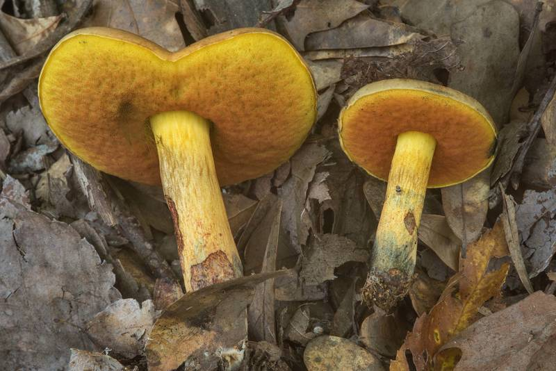 "Underside of hickory bolete mushrooms <B>Suillellus hypocarycinus</B> in Lick Creek Park. College Station, Texas, <A HREF=""../date-en/2018-06-13.htm"">June 13, 2018</A>"
