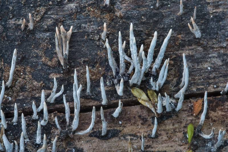 Close up of candlesnuff fungus (Xylaria hypoxylon) on an oak log in Lick Creek Park. College Station, Texas, June 16, 2018