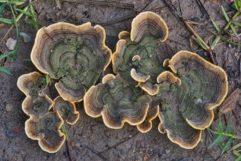 "Hairy curtain crust mushrooms (<B>Stereum hirsutum</B>) growing from the ground on a recent cutting in Lick Creek Park. College Station, Texas, <A HREF=""../date-en/2018-06-21.htm"">June 21, 2018</A>"