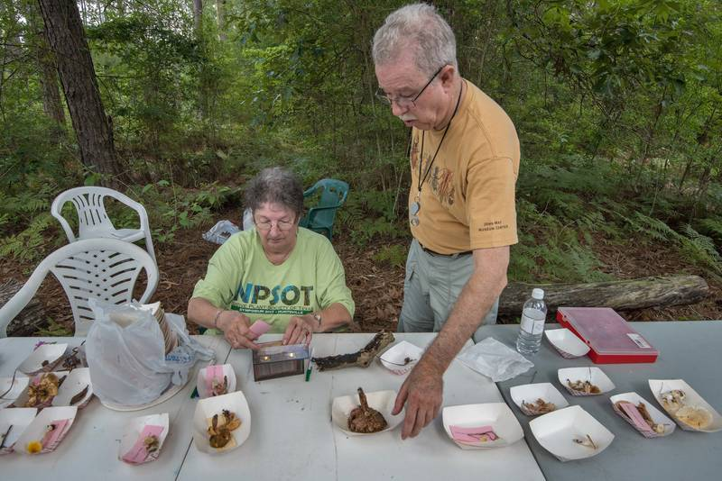Grouping, identifying, and labelling collected mushrooms at mushroom walk with Gulf States Mycological Society in Watson Rare Native Plant Preserve. Warren, Texas, June 23, 2018
