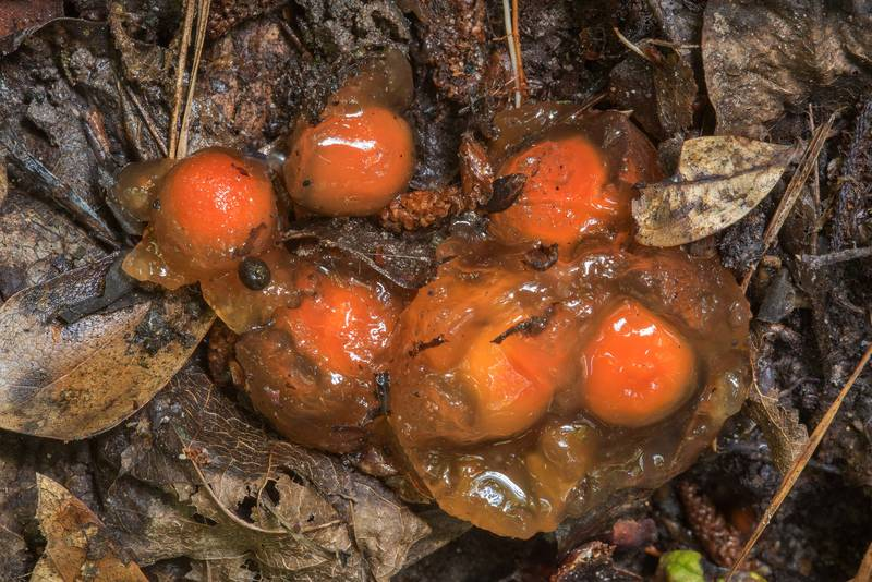 "Stalked puffball-in-aspic mushrooms (<B>Calostoma cinnabarinum</B>) under a boardwalk on a slope of a creek on Sundew Trail in Big Thicket National Preserve. Kountze, Texas, <A HREF=""../date-en/2018-06-23.htm"">June 23, 2018</A>"