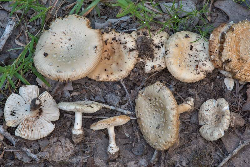 Mushrooms Amanita pubescens in a dry oak forest in Lick Creek Park. College Station, Texas, June 28, 2018