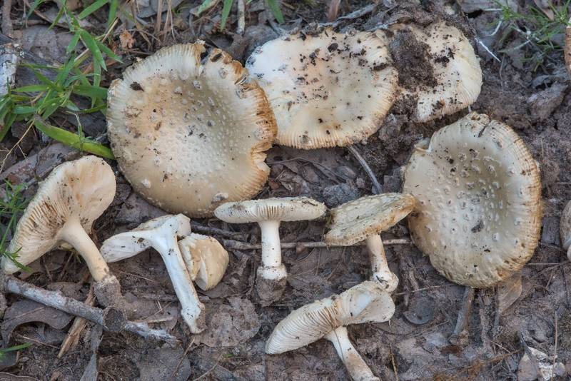 Group of mushrooms Amanita pubescens in a dry oak forest in Lick Creek Park. College Station, Texas, June 28, 2018
