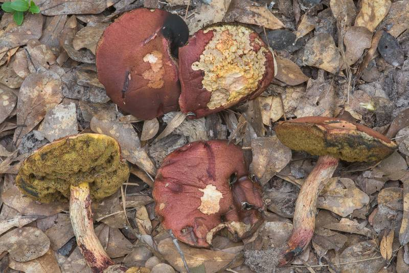 Mature bolete mushrooms Pulchroboletus rubricitrinus (Boletus rubricitrinus) in Lick Creek Park. College Station, Texas, June 28, 2018