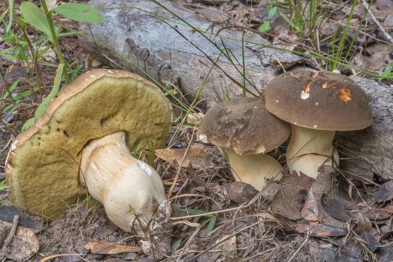 Group of porcini bolete mushrooms of Boletus edulis group on Yaupon Loop Trail in Lick Creek Park. College Station, Texas, June 28, 2018