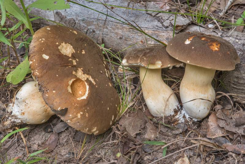 Brown caps of porcini bolete mushrooms of Boletus edulis group on Yaupon Loop Trail in Lick Creek Park. College Station, Texas, June 28, 2018