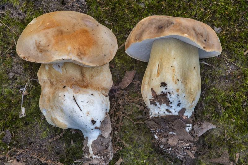 Young porcini bolete mushrooms of Boletus edulis group in Lick Creek Park. College Station, Texas, June 28, 2018