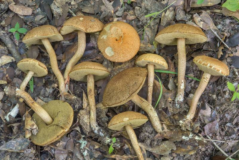 Leccinellum crocipodium(?) mushrooms in Lick Creek Park. College Station, Texas, June 28, 2018