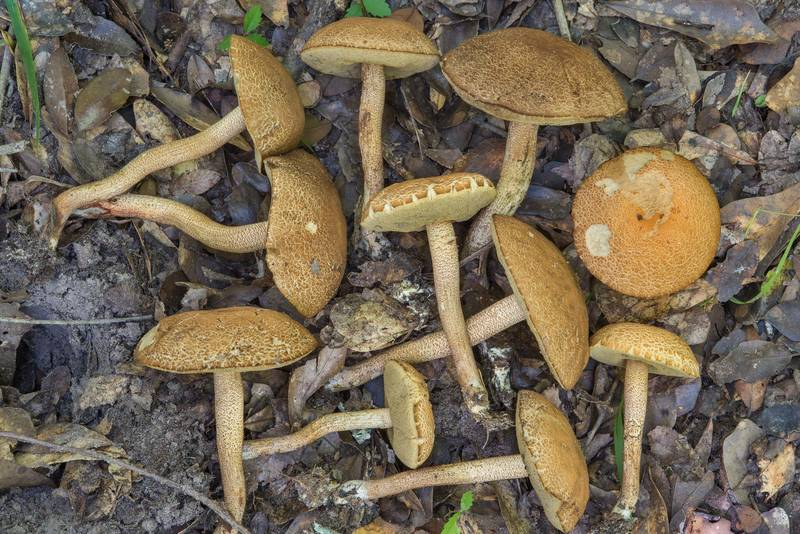 Group of Leccinellum crocipodium(?) mushrooms in bushes in Lick Creek Park. College Station, Texas, June 28, 2018