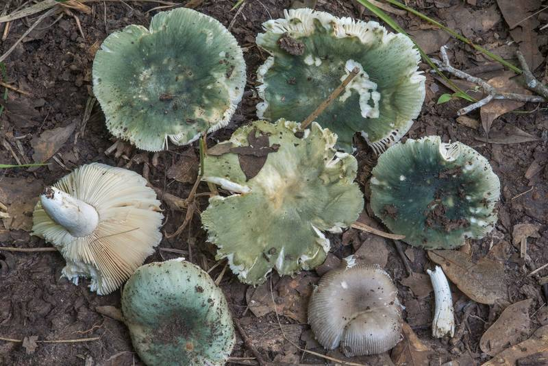 "Turquoise brittlegill mushrooms (<B>Russula subgraminicolor</B>) in a swampy area near Raccoon Run Trail in Lick Creek Park. College Station, Texas, <A HREF=""../date-en/2018-06-29.htm"">June 29, 2018</A>"