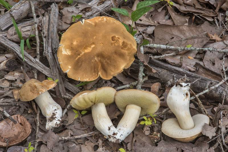 "Porcini mushrooms (<B>Boletus edulis</B> group) on a recent forest cutting in Lick Creek Park. College Station, Texas, <A HREF=""../date-en/2018-06-29.htm"">June 29, 2018</A>"