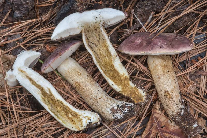 Dissected bolete mushrooms Tylopilus williamsii on Caney Creek section of Lone Star Hiking Trail in Sam Houston National Forest near Huntsville, Texas, June 30, 2018