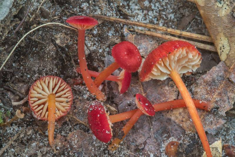 "Bright red waxcap mushrooms Hygrocybe subsect. Squamulosae or may be <B>Hygrocybe mississippiensis</B> found on a small wet slope near a trail descending from pine forest to a creek valley on Caney Creek section of Lone Star Hiking Trail in Sam Houston National Forest near Huntsville, Texas, <A HREF=""../date-en/2018-06-30.htm"">June 30, 2018</A>"