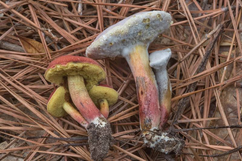 "Small bolete mushrooms <B>Hortiboletus rubellus</B>(?) with Hypomyces fungus on a trail on Caney Creek section of Lone Star Hiking Trail in Sam Houston National Forest near Huntsville, Texas, <A HREF=""../date-en/2018-06-30.htm"">June 30, 2018</A>"