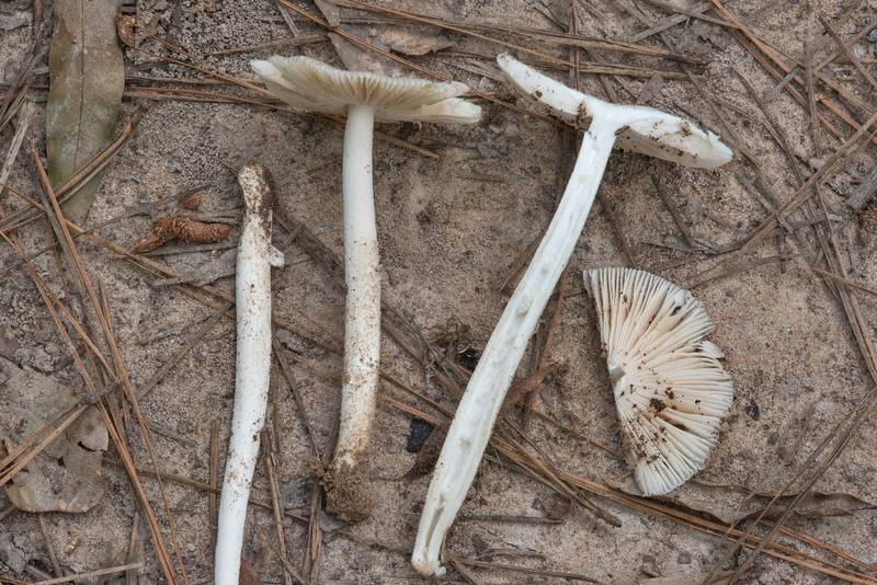 Dissected grisette mushrooms (Amanita sect. Vaginatae) on floodplain on Caney Creek Trail (Little Lake Creek Loop Trail) in Sam Houston National Forest, near Huntsville. Texas, June 30, 2018