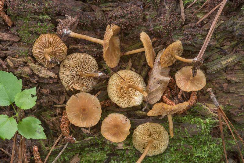 "<B>Callistosporium luteo-olivaceum</B> mushrooms on a big rotting pine log on floodplain on Caney Creek Trail (Little Lake Creek Loop Trail) in Sam Houston National Forest, near Huntsville. Texas, <A HREF=""../date-en/2018-06-30.htm"">June 30, 2018</A>"