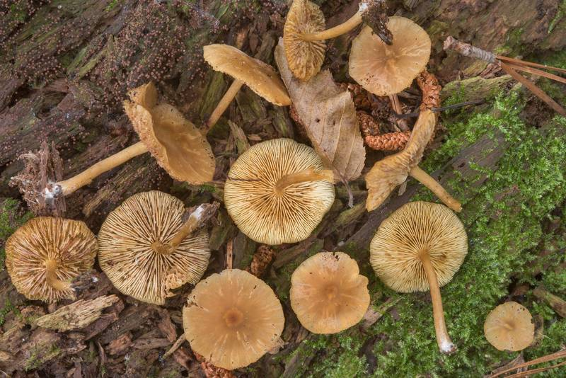 "Group of <B>Callistosporium luteo-olivaceum</B> mushrooms on a big rotting pine log on floodplain on Caney Creek Trail (Little Lake Creek Loop Trail) in Sam Houston National Forest, near Huntsville. Texas, <A HREF=""../date-en/2018-06-30.htm"">June 30, 2018</A>"