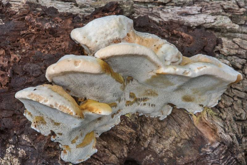 "Side view of polypore mushrooms <B>Inonotus cuticularis</B> on a fallen oak branch in Lick Creek Park. College Station, Texas, <A HREF=""../date-en/2018-07-02.htm"">July 2, 2018</A>"