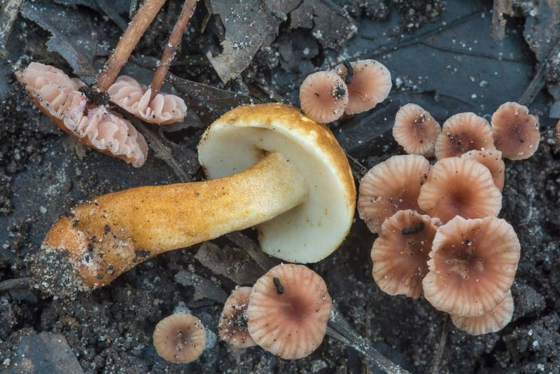 "Chestnut bolete (Gyroporus castaneus) and twisted deceiver mushrooms (<B>Laccaria tortilis</B>) on floodplain on Caney Creek section of Lone Star Hiking Trail in Sam Houston National Forest near Huntsville, Texas, <A HREF=""../date-en/2018-07-07.htm"">July 7, 2018</A>"