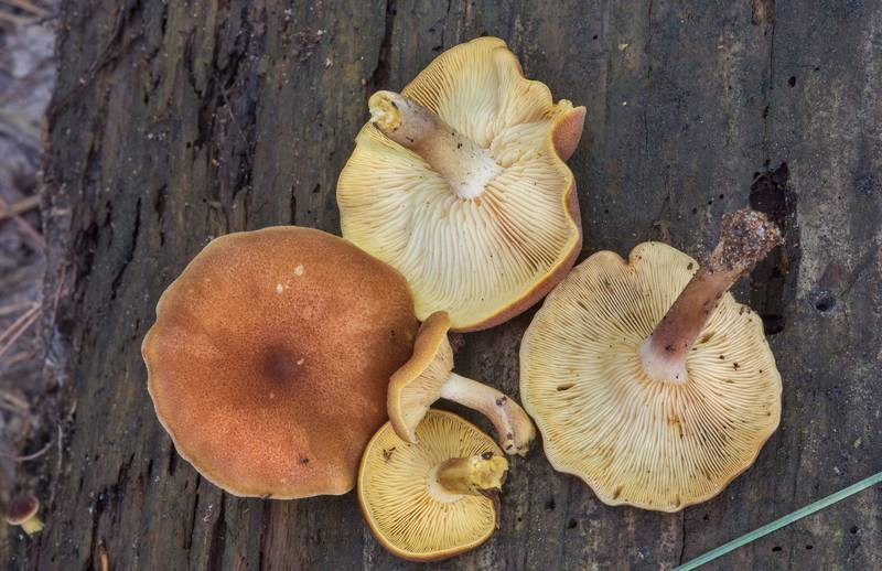 "Plums and Custard mushrooms (<B>Tricholomopsis rutilans</B>) on a rotting pine log on Caney Creek Trail (Little Lake Creek Loop Trail) in Sam Houston National Forest, near Huntsville. Texas, <A HREF=""../date-en/2018-07-07.htm"">July 7, 2018</A>"