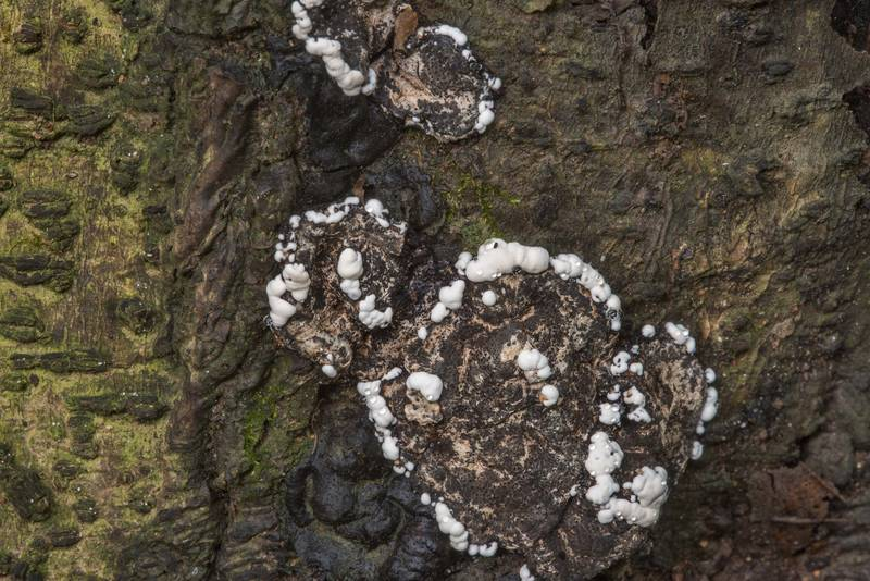 "Brittle cinder fungus (<B>Kretzschmaria deusta</B>) at the base of yaupon holly bush in Lick Creek Park. College Station, Texas, <A HREF=""../date-en/2018-07-09.htm"">July 9, 2018</A>"
