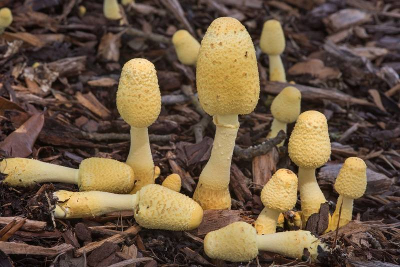 "Yellow pot-plant mushrooms (<B>Leucocoprinus birnbaumii</B>) on mulch under a live oak on New Main Drive on campus of Texas A and M University. College Station, Texas, <A HREF=""../date-en/2018-07-10.htm"">July 10, 2018</A>"