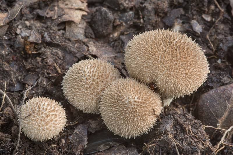 "Group of puffball mushrooms <B>Lycoperdon americanum</B> in an oak forest in Lick Creek Park. College Station, Texas, <A HREF=""../date-en/2018-07-11.htm"">July 11, 2018</A>"