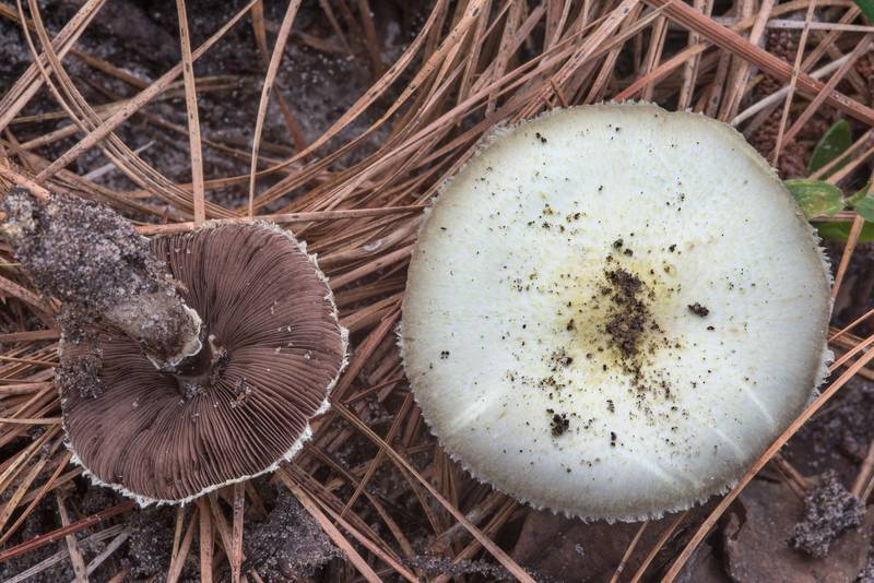 "<B>Agaricus auricolor</B> mushrooms on Caney Creek section of Lone Star Hiking Trail in Sam Houston National Forest near Huntsville, Texas, <A HREF=""../date-en/2018-07-13.htm"">July 13, 2018</A>"