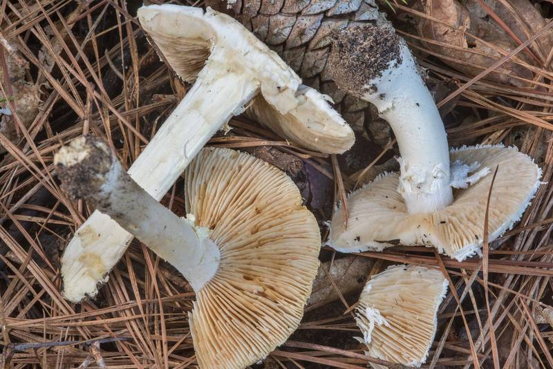 "Dissected soft white American solitary Lepidella mushrooms (<B>Amanita subsolitaria</B>)(?) on Caney Creek section of Lone Star Hiking Trail in Sam Houston National Forest near Huntsville, Texas, <A HREF=""../date-en/2018-07-13.htm"">July 13, 2018</A>"