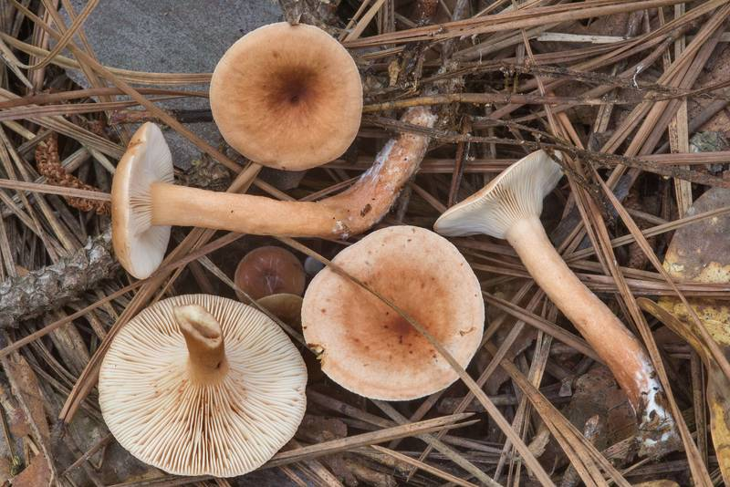 "Mild milkcap (beech milk cap) mushrooms <B>Lactarius subdulcis</B> (Lactarius oculatus) near a hiker's campsite on Caney Creek Trail (Little Lake Creek Loop Trail) in Sam Houston National Forest, near Huntsville. Texas, <A HREF=""../date-en/2018-07-13.htm"">July 13, 2018</A>"