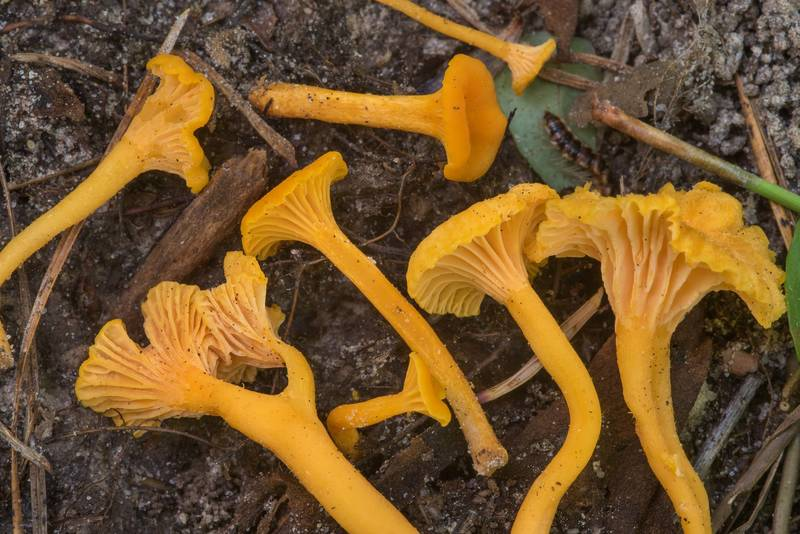 Chanterelle mushrooms Cantharellus minor on floodplain in Big Creek Scenic Area of Sam Houston National Forest. Shepherd, Texas, July 14, 2018