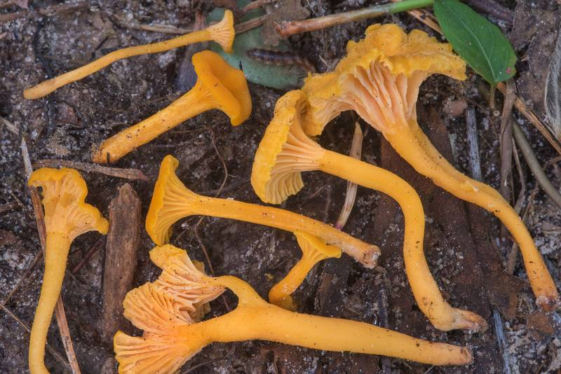 Group of chanterelle mushrooms Cantharellus minor on floodplain in Big Creek Scenic Area of Sam Houston National Forest. Shepherd, Texas, July 14, 2018