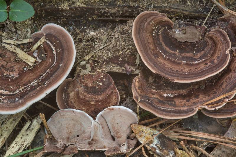 Polypore mushrooms Nigroporus vinosus on a rotting log in Big Creek Scenic Area of Sam Houston National Forest. Shepherd, Texas, July 14, 2018