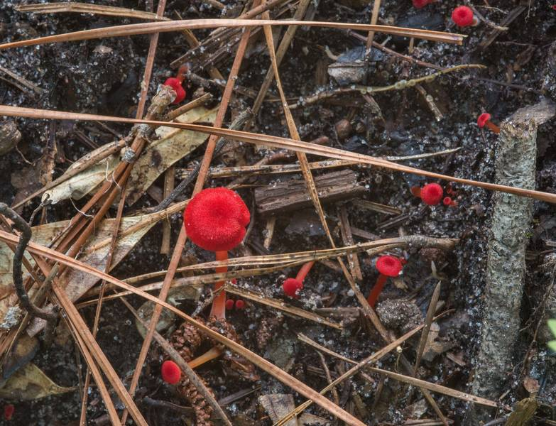 "Red waxcap mushrooms Hygrocybe subsect. Squamulosae or may be <B>Hygrocybe mississippiensis</B> on a small descending slope near a trail on Caney Creek section of Lone Star Hiking Trail in Sam Houston National Forest near Huntsville, Texas, <A HREF=""../date-en/2018-07-15.htm"">July 15, 2018</A>"