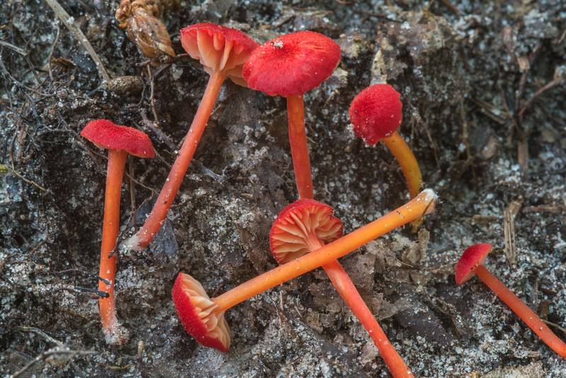 Red waxcap mushrooms Hygrocybe subsect. Squamulosae or may be Hygrocybe mississippiensis on Caney Creek section of Lone Star Hiking Trail in Sam Houston National Forest near Huntsville, Texas, July 15, 2018