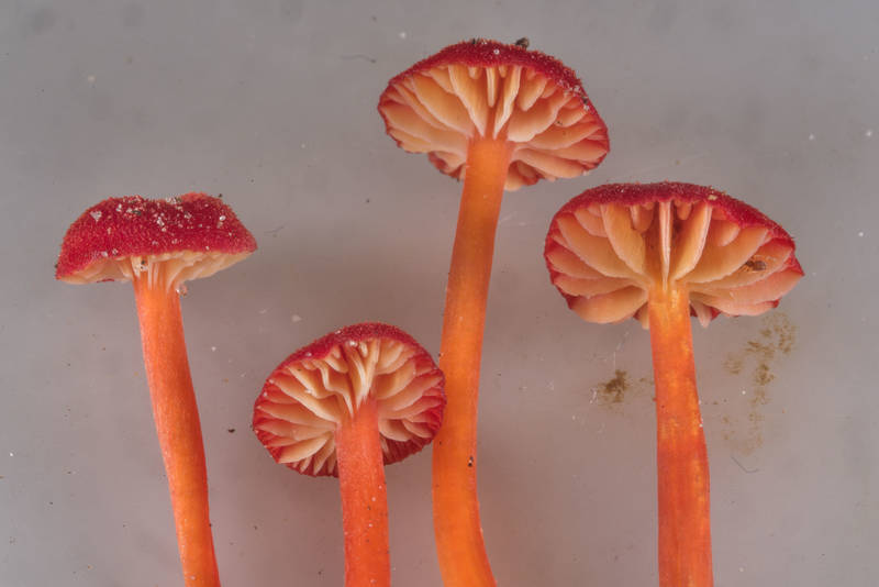 Gills of waxcap mushrooms Hygrocybe subsect. Squamulosae or may be Hygrocybe mississippiensis on Caney Creek section of Lone Star Hiking Trail in Sam Houston National Forest near Huntsville, Texas, July 15, 2018