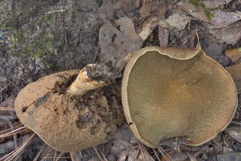 "Mature bitter bolete mushrooms <B>Porphyrellus sordidus</B> (Tylopilus sordidus) on Caney Creek section of Lone Star Hiking Trail in Sam Houston National Forest near Huntsville, Texas, <A HREF=""../date-en/2018-07-15.htm"">July 15, 2018</A>"