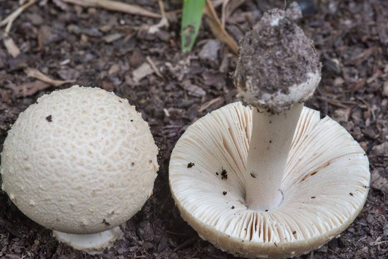 "Mushrooms <B>Amanita pubescens</B> on Yaupon Trail in Lick Creek Park. College Station, Texas, <A HREF=""../date-en/2018-07-16.htm"">July 16, 2018</A>"