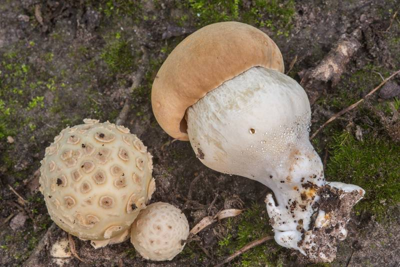 "Amanita pubescens and a mushroom of <B>Boletus edulis</B> group in Lick Creek Park. College Station, Texas, <A HREF=""../date-en/2018-07-16.htm"">July 16, 2018</A>"
