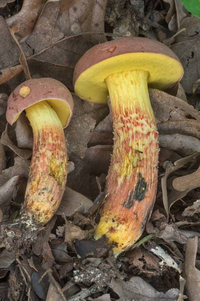 "Pare of <B>Pulchroboletus rubricitrinus</B> (Boletus rubricitrinus) mushrooms affected by dry air in Lick Creek Park. College Station, Texas, <A HREF=""../date-en/2018-07-16.htm"">July 16, 2018</A>"