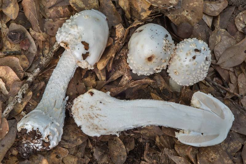 "Dissected Golden Threads Lepidella mushroom (<B>Amanita canescens</B>) under oaks in Lick Creek Park. College Station, Texas, <A HREF=""../date-en/2018-07-18.htm"">July 18, 2018</A>"